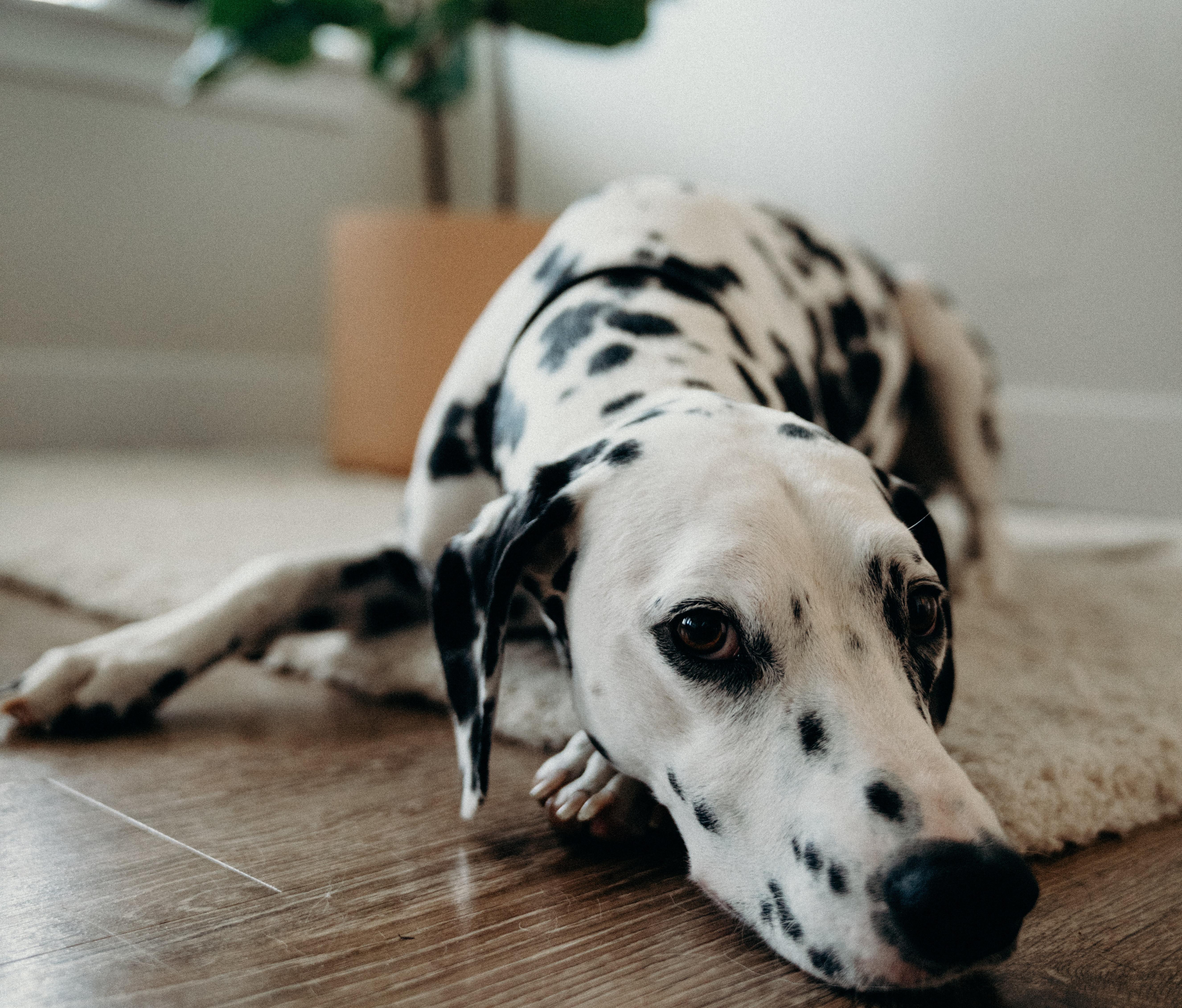 dog-lying-on-rug