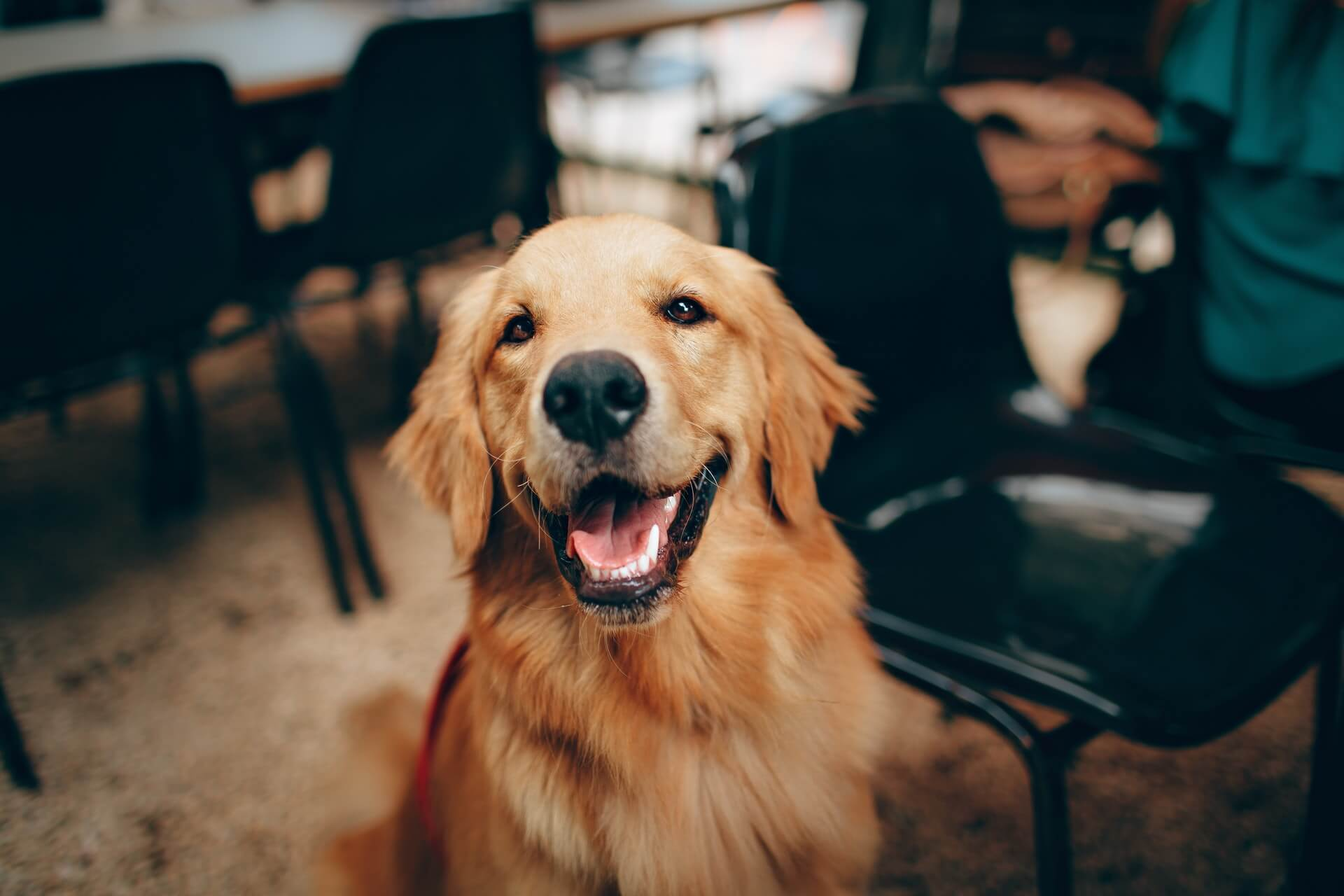 smiling-golden-retreiver